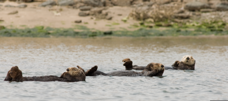 sea otters 2
